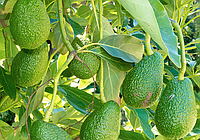 Советы огородникам как выращивать авокадо в тепличных условиях