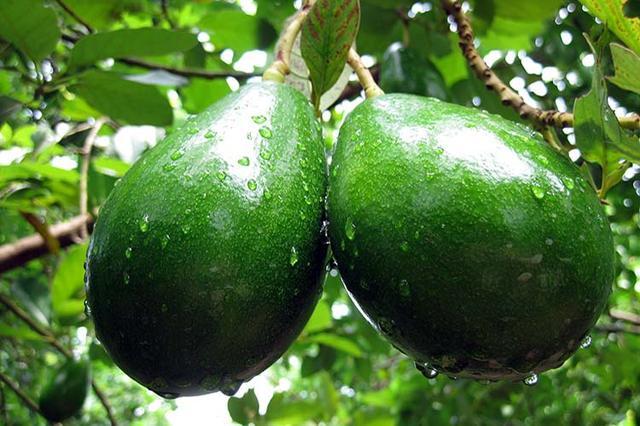 Тепличные условия выращивания авокадо