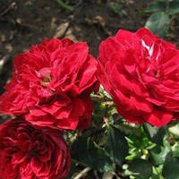 Роза бордюрна Гранатовий браслет