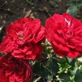 Саджанці бордюрних троянд