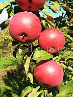 Яблоня колонновидная ЧЕРВОНЕЦ, фото 1