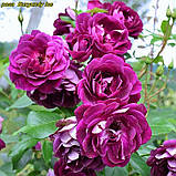 Роза Burgundy Ice (Бургундский лед), фото 3