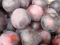 Саженцы плодовых деревьев Алыча, Алычи Голубка