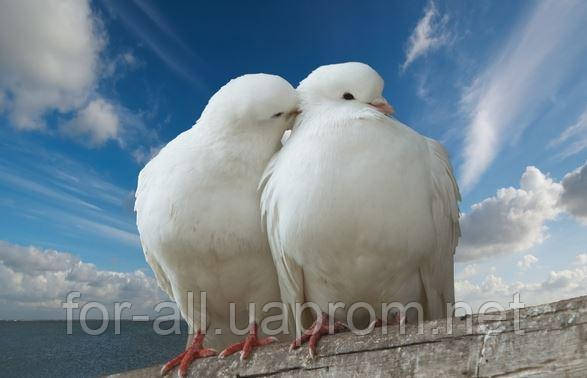 Фото голубь-символ любви и верности