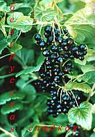 Смородина чёрная Белорусская сладкая