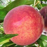 Саженцы персика Кондор (созревание-начало Июля)