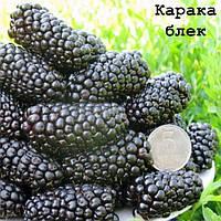Ежевика Карака Блек (Karaka Black) - колючая, сверх ранняя, урожайная.