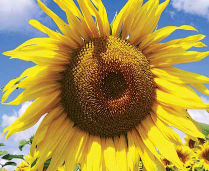 Насіння соняшника ЛГ 5663 КЛ / LG 5663 CL, фото 2