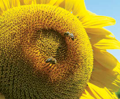 Насіння соняшника Тунка