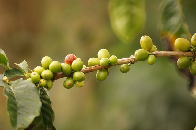 сырой кофе без кофеина Колумбия Супремо Colombia Supremo СО2