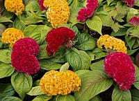 Семена цветов петушиный гребень 1 лот 10 семян