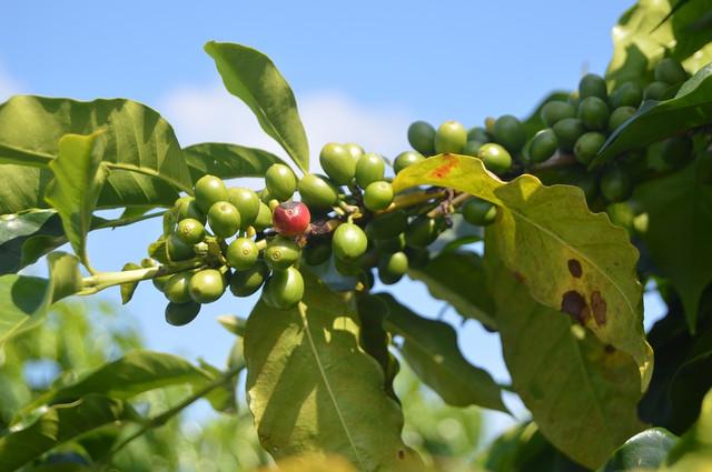 необжаренный кофе Арабика Бразилия БЕЗ КОФЕИНА (Arabica Brazil Decaf CO2)