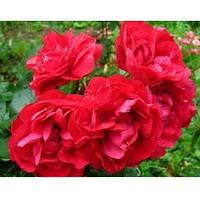 Роза Колосаль