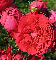 Троянда англійська Ерік Таберли