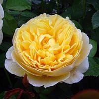 Троянда англійська Шарлотта