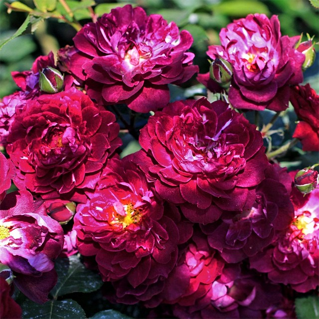 Роза бордюрная Кардинал