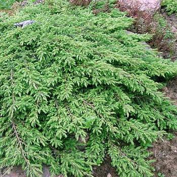 Можжевельник обыкновенный Грин Карпет  (контейнер 3 л, размер растения 15-20см)
