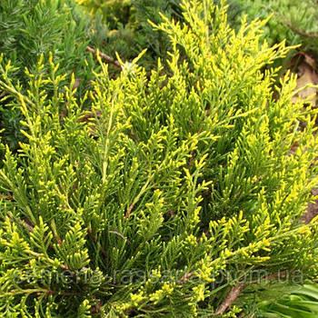 Можжевельник средний Мордиган Голд  (контейнер 3 л, размер растения 40-50см)
