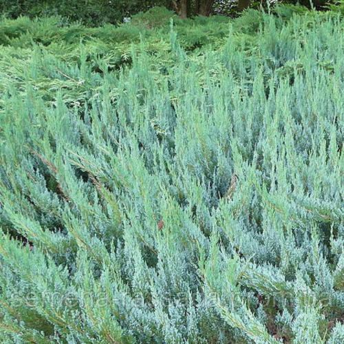 Можжевельник горизонтальный Альпина (контейнер 3 л, размер растения 40-50см)
