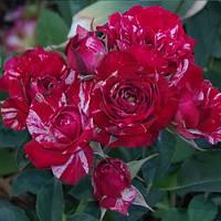 Роза флорибунда Арроу Фолиес