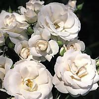 Троянда флорибунда Аспірин