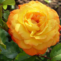 Троянда флорибунда Сонячна дівчинка