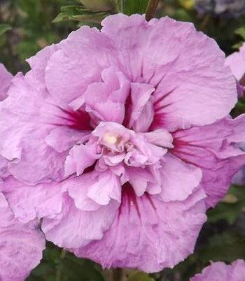 """Гібіскус деревовидний """"Lavender Chiffon"""""""