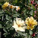 Роза Ali Dorate (Али Дорате), фото 2