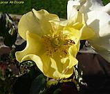 Роза Ali Dorate (Али Дорате), фото 7