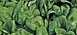 Шпинат. Рекомендации по технологии выращивания