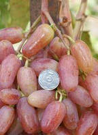 Виноград Виктор (винный, ранний)