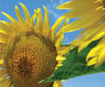 Насіння соняшника ЛГ 5665  М / LG 5665 М, фото 2