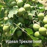 Грецкий орех Идеал трехлетний, фото 3