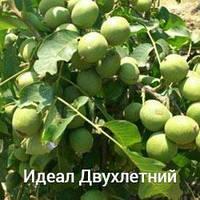 Грецкий орех Идеал двухлетний