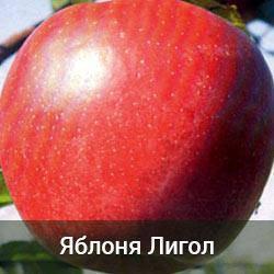 Яблоня Лигол