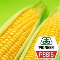 Насіння кукурудзи Піонер P8816 ФАО 300