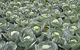 Зенон F1 2500 шт. семена капусты Syngenta Голландия, фото 3