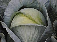 Гарантия F1 семена капусты белокочанной поздней (Lucky Seed) 2500