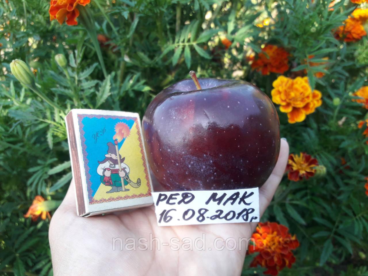 Саженцы яблони Ред Мак ( США )
