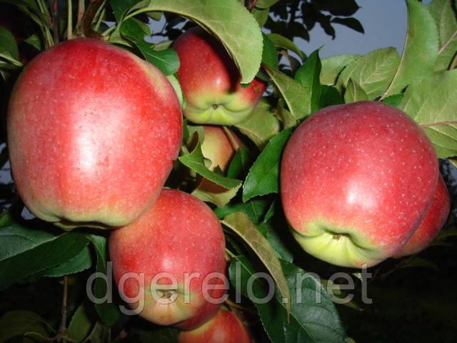 Саженцы яблони Лигол (зимний)