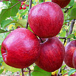 Яблоня Камео - зимний сорт. М9 и М106