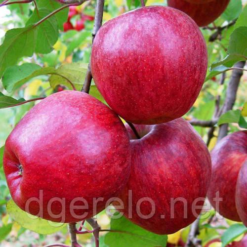 Яблоня Камео - зимний сорт м9