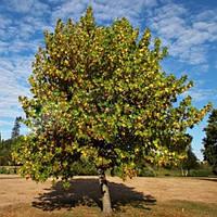 Лириодендрон, Тюльпановое дерево (контейнер 3 л, размер растения 50-60см)