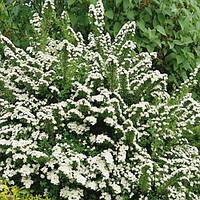 Спирея ниппонская Сноумунд (контейнер 3л, размер растения 20-30см)