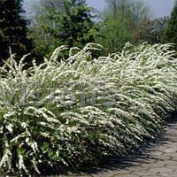 Спирея серая Грефшейм / Grefsheim (контейнер 3л, размер растения 25-35см)