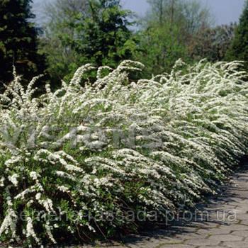 Спирея серая Грефшейм  (контейнер 3 л, размер растения 25-35см)