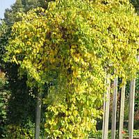 Древогубец (контейнер 1л, размер растения 10-15см)