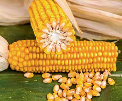 Насіння кукурудзи ЛГ 30273/ LG 30273