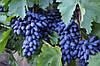 Саженцы винограда ОДЕССКИЙ СУВЕНИР средне позднего срока созревания