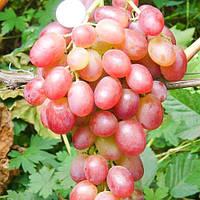 Саженцы винограда ЛИВИЯ сверх раннего срока созревания